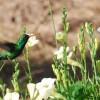 Beija-flor da Caatinga